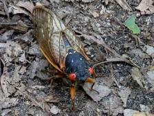 CicadaCrunch