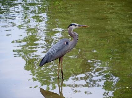 Blue heron, Kingstowne Lake