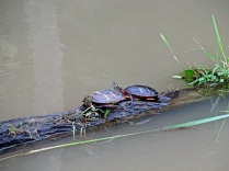 Painted turtles, Huntley Meadows