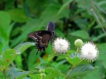 Spicebush swallowtail, Huntley Meadows