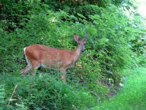 White-tailed deer, Glade Branch, Reston