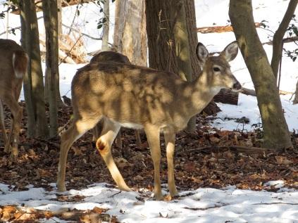 Deer in Woodend Sanctuary