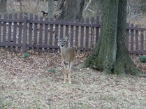 This doe kept watch while the others grazed.