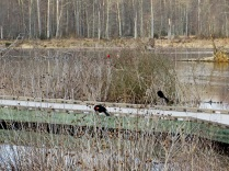 Two red-winged blackbirds preening by the boardwalk, with a male cardinal supervising.