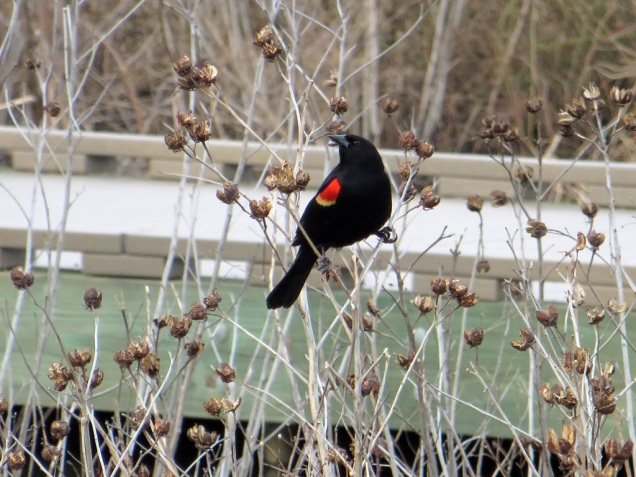 A red-winged blackbird.
