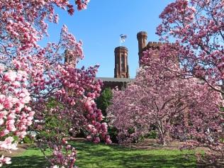 Magnolias in the Haupt Garden