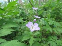 Unidentified wildflower