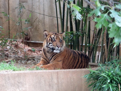 Aloof tiger