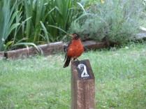 A robin in Jones Point Park