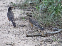 Juvenile robin, with Mom at left