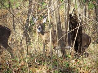 One of several deer