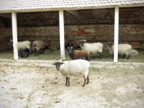 The sheep pen