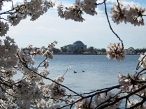 Cherry Blossoms framing the Jefferson Memorial