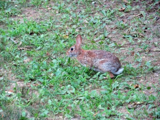 A young rabbit