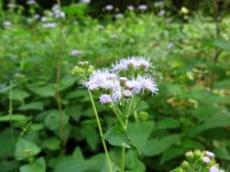 Blue Mist Flower (Wild Ageratum)