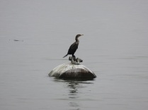 A cormorant resting on a barrel buoy