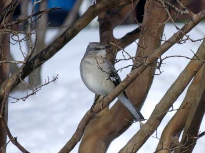 A bold mockingbird