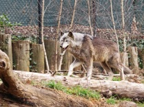 If this wolf were out roaming free, both he and I would be happier