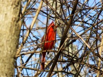 A cardinal singing contentedly in the security of brambles