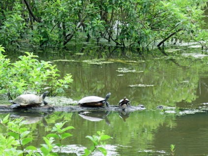 Turtles on the Beaver Pond