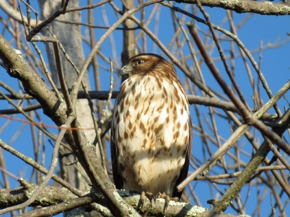 A hawk at Occoquan Bay Wildlife Refuge
