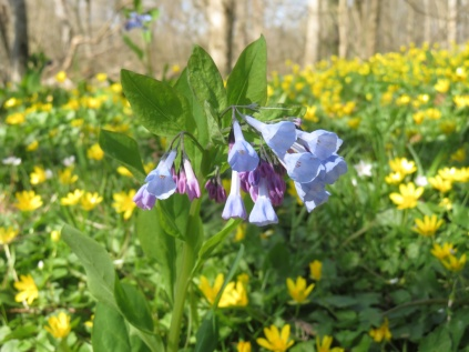 An early bluebell